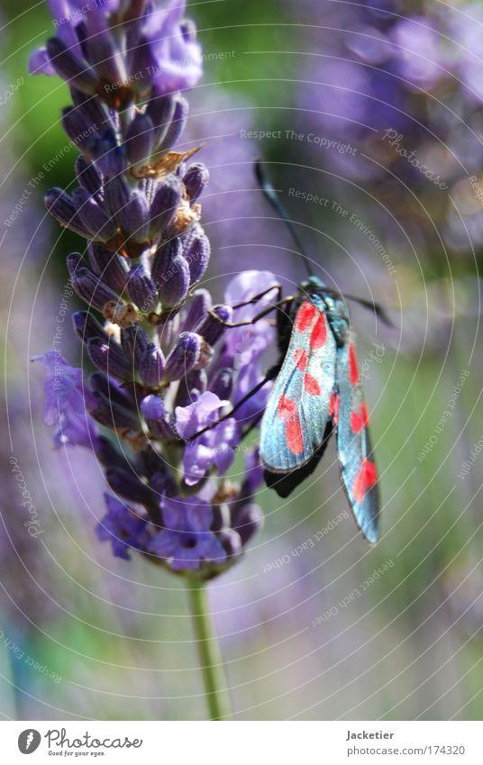 Alter Falter. Farbfoto Außenaufnahme Makroaufnahme Tag Unschärfe Natur Landschaft Pflanze Sommer Lavendel Tier Wildtier Schmetterling 1 ästhetisch