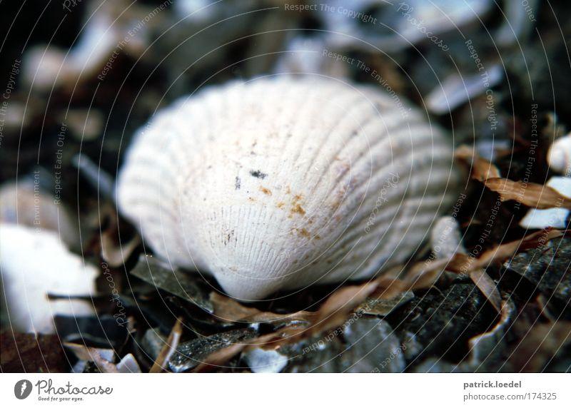 [KI09] Muschelschubsen Farbfoto Gedeckte Farben Außenaufnahme Menschenleer Schwache Tiefenschärfe Natur weiß Muschelschale Makroaufnahme Außenseite 1 einzeln