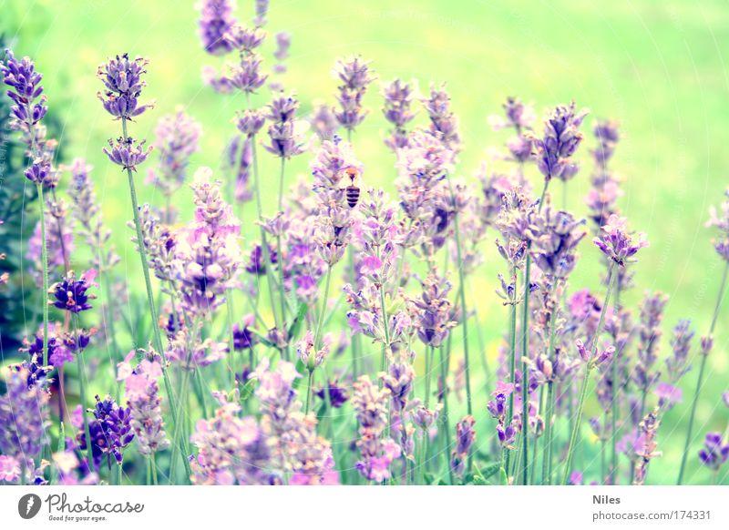 Honigsammlerin Natur Pflanze Sommer Tier Arbeit & Erwerbstätigkeit violett Biene Lavendel Farbenspiel Heilpflanzen
