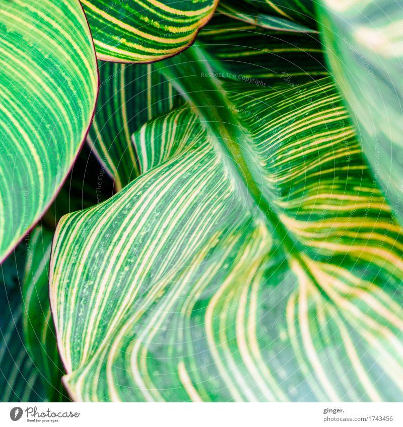 Blatt-Gewoge Natur Pflanze Sommer gelb grün gestreift umrandet rotbraun wellig Wellen Blattadern mehrere Detailaufnahme aufeinander Bewegung gegeneinander Linie