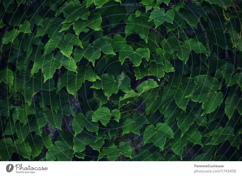 Grün. Natur Efeu Grünpflanze Kletterpflanzen Weinblatt grün Wand Garten Blatt Sichtschutz Wetterschutz Windschutz Fassade Dekoration & Verzierung Mauer