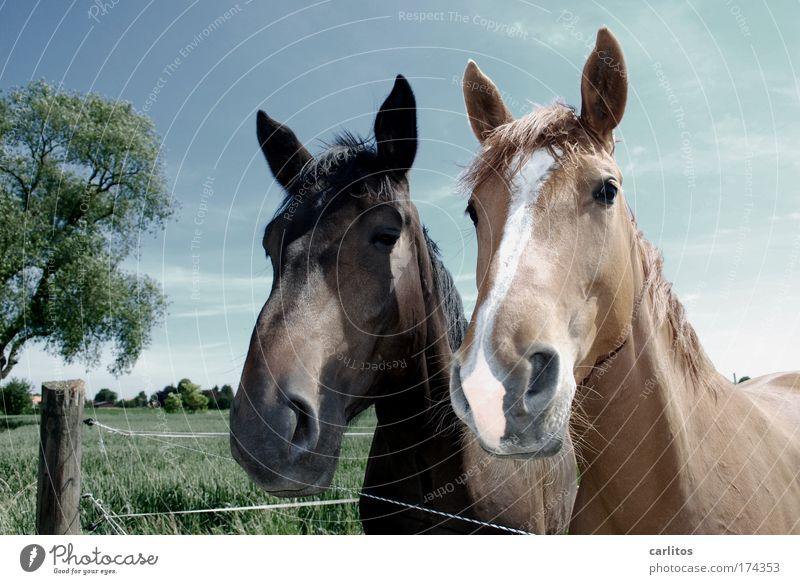 Das doppelte Hottchen Weitwinkel Blick in die Kamera harmonisch Reiten Freiheit Wiese Dorf Pferd Fell 2 Tier beobachten ästhetisch elegant Freundlichkeit