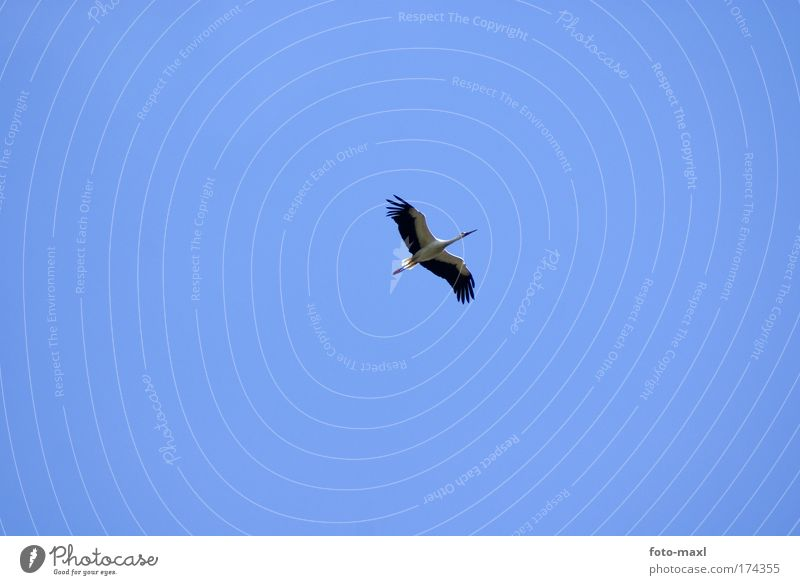 Storch im Flug Natur blau weiß Ferien & Urlaub & Reisen Tier schwarz Umwelt Bewegung Vogel elegant fliegen Wildtier außergewöhnlich beobachten Unendlichkeit dünn