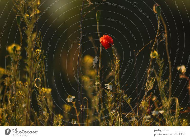 Wiese Farbfoto Außenaufnahme Tag Umwelt Natur Pflanze Gras Blühend Wachstum natürlich schön Glück Romantik Kamille Mohn Abend Warmes Licht Wärme Sommer