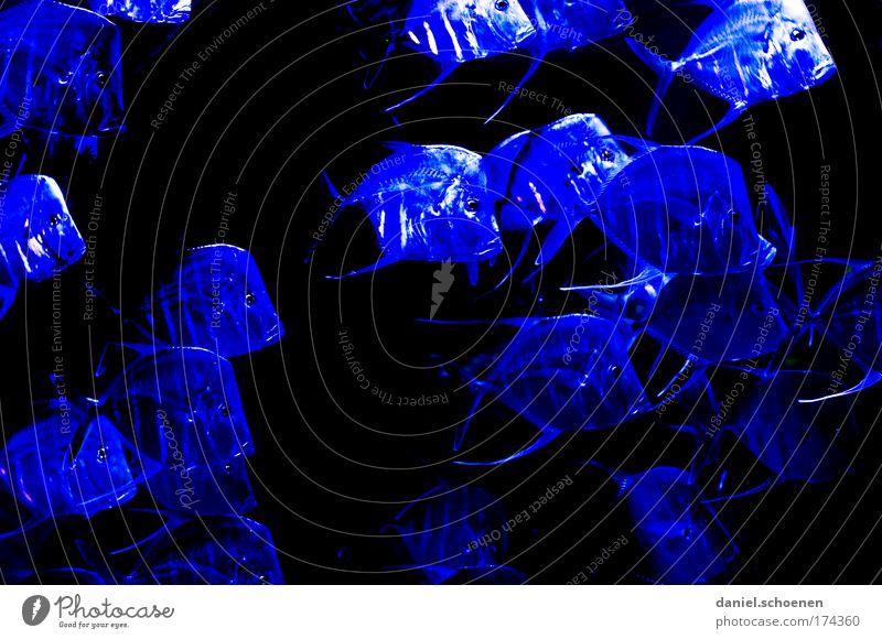 Forelle blau Farbfoto Unterwasseraufnahme Low Key Tier Wasser Riff Korallenriff Fisch Aquarium Schwarm ästhetisch Bewegung bizarr Farbe Konkurrenz Team Umwelt