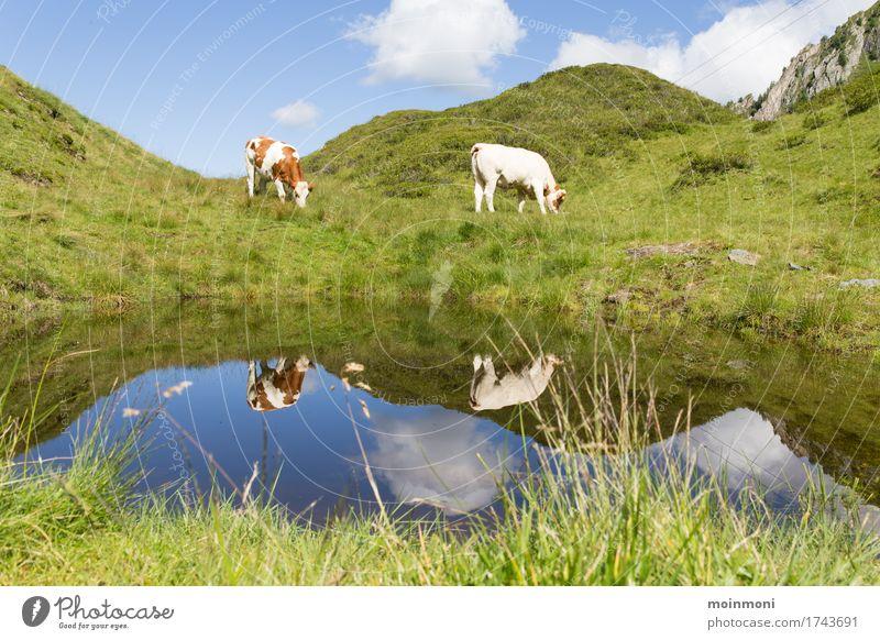 Muuuuuuh Ferien & Urlaub & Reisen Ausflug Sommer Sonne Berge u. Gebirge wandern Umwelt Natur Landschaft Wasser Sonnenlicht Gras Sträucher Wiese Feld Hügel Alpen