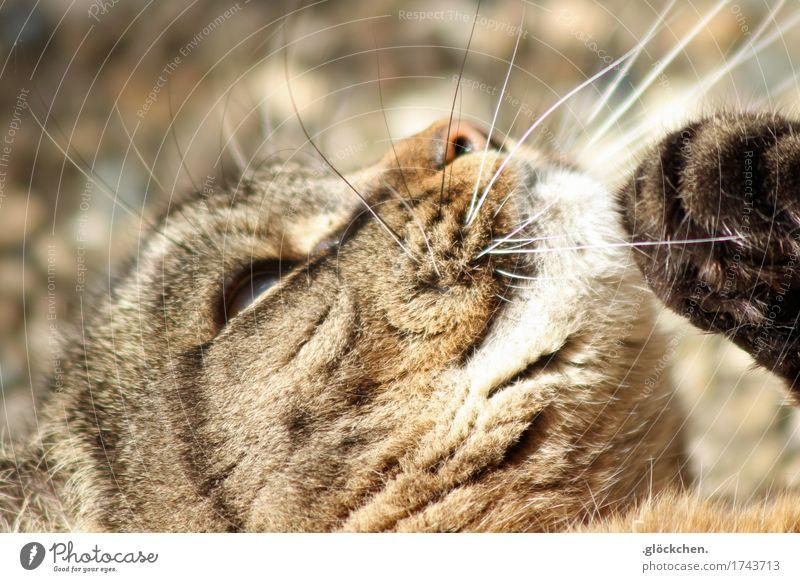 Luna Haustier Katze Tiergesicht Pfote 1 liegen nah natürlich niedlich braun weiß Glück Geborgenheit Erholung Farbfoto Gedeckte Farben Außenaufnahme