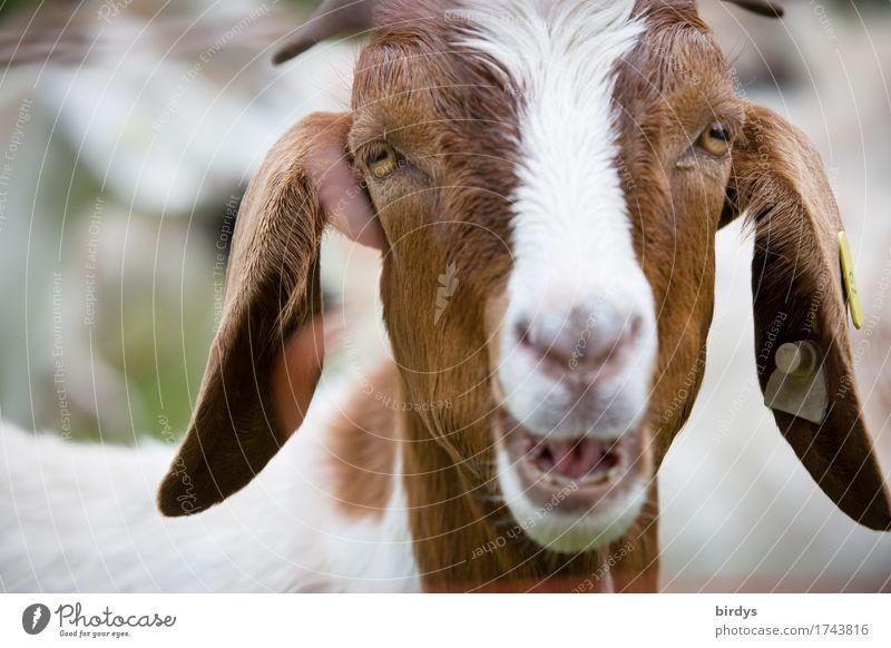 Ansage Nutztier Ziegen 1 Tier sprechen lustig Neugier positiv braun weiß Tierliebe Leben gereizt Beratung einzigartig Kommunizieren Kontakt Gesichtsausdruck