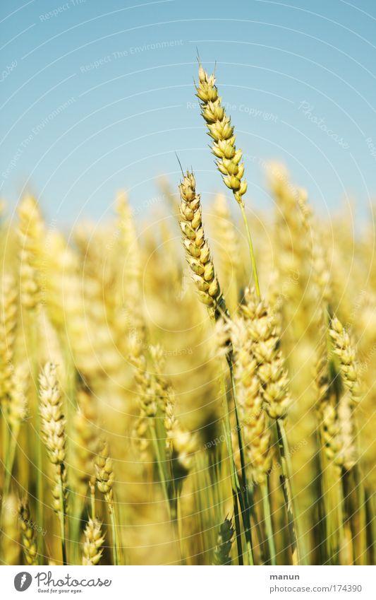 Vollkorn Lebensmittel Getreide Zerealien Bioprodukte Gesundheit Biologische Landwirtschaft ökologisch Umwelt Landschaft Wolkenloser Himmel Sommer Nutzpflanze