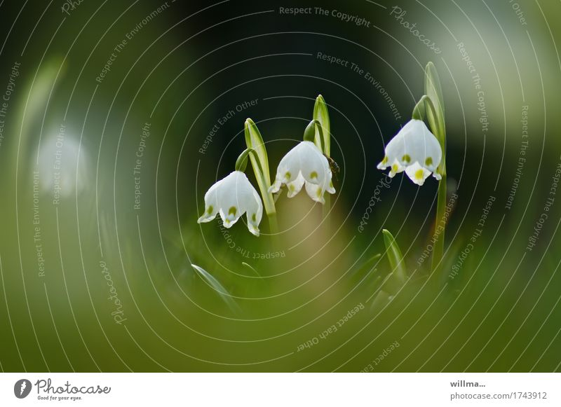 zarte erinnerung Pflanze Frühling Märzenbecher Frühlingsblume Frühblüher Frühlingsknotenblume Bedecktsamer natürlich grün weiß lieblich Farbfoto Außenaufnahme