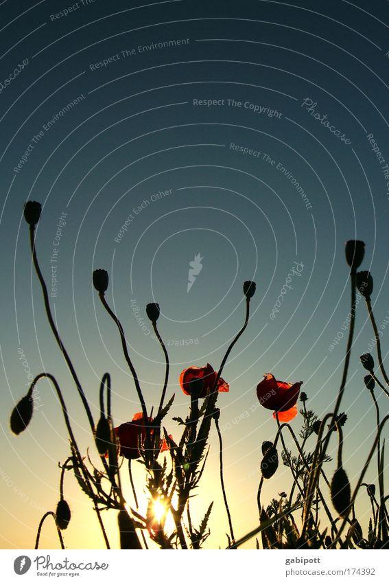 abendstimmung/mohn/img_50.jpg Natur blau schön rot Ferien & Urlaub & Reisen Pflanze Sommer ruhig Landschaft Wiese Zufriedenheit Feld Dekoration & Verzierung