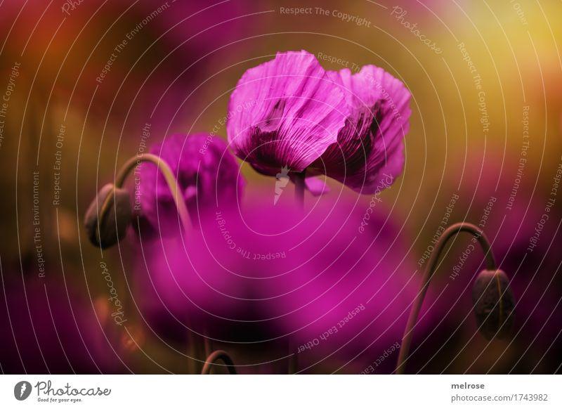 Dienstags-MOHN Mohn elegant Stil Natur Sommer Schönes Wetter Pflanze Blume Blatt Blüte Wildpflanze Mohnblüte Blütenstauden Klatschmohn Mohnkapseln Feld Farbe