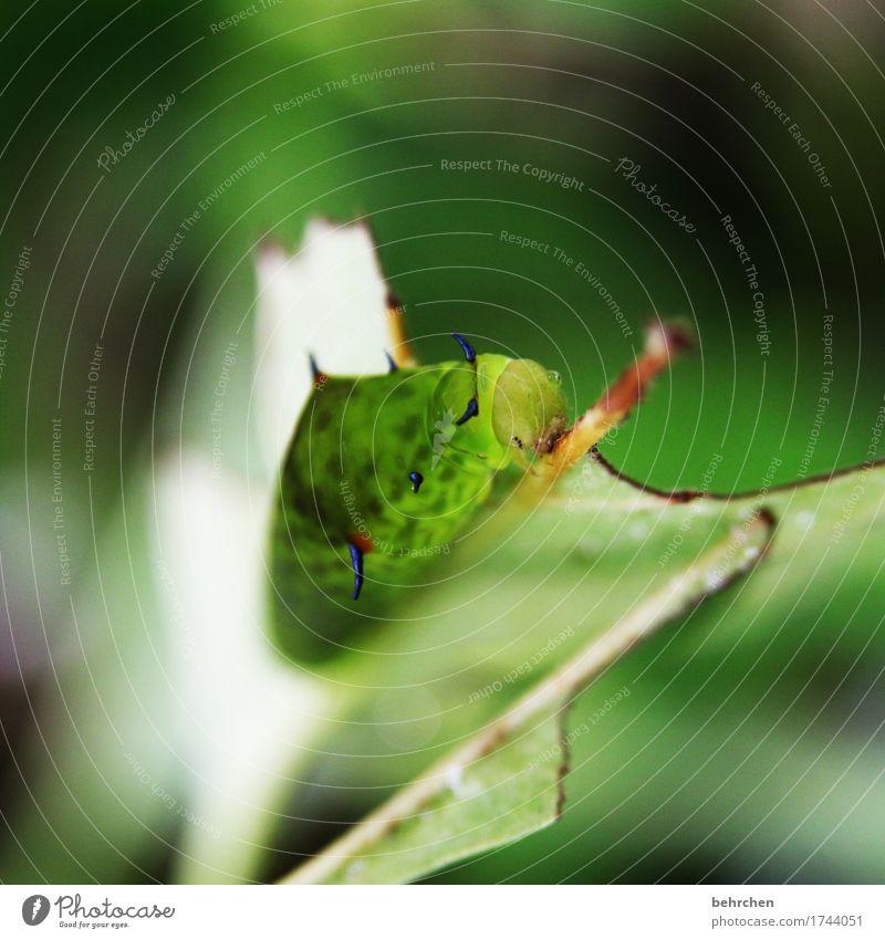 vorher... Natur Pflanze Tier Baum Sträucher Blatt Garten Park Wiese Wildtier Tiergesicht Raupe 1 Fressen Wachstum außergewöhnlich exotisch fantastisch verpuppen