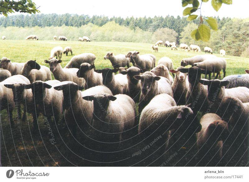Massenansammlung Wiese Verkehr Schaf