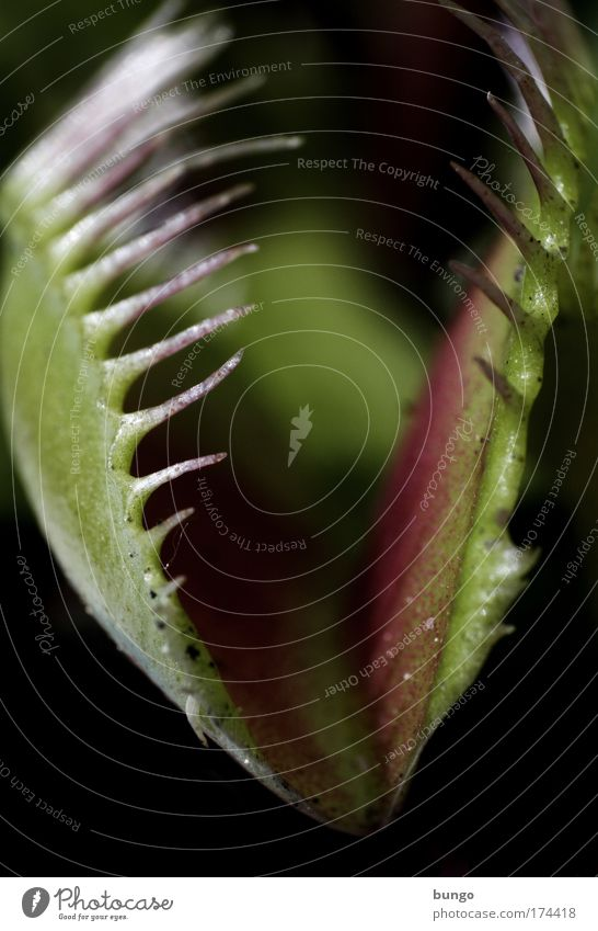 abrupta mors grün Pflanze Ernährung warten gefährlich bedrohlich beobachten Spitze Fressen exotisch ködern Topfpflanze Verdauungsystem Fliegenfalle Venusfliegenfalle