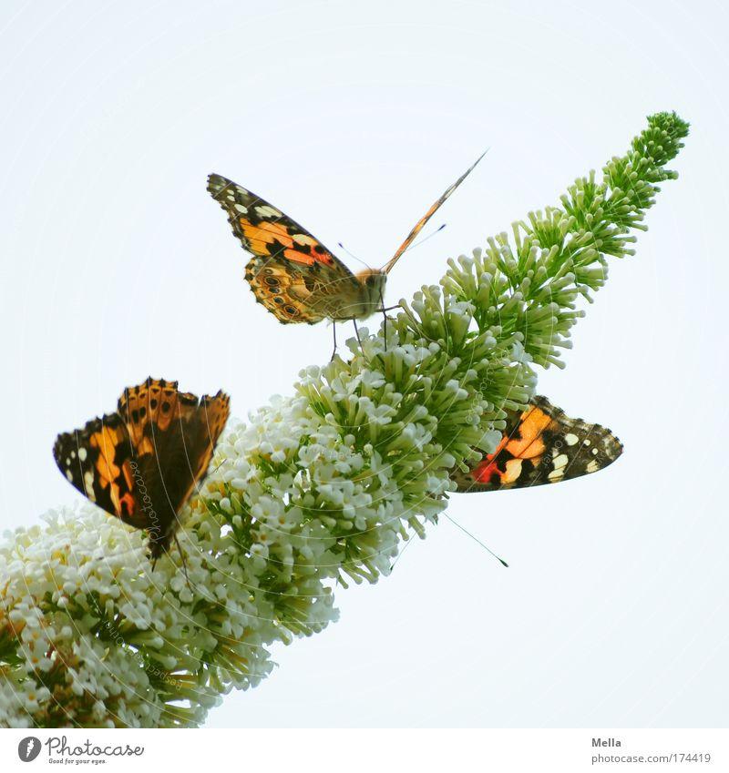 Dreierlei Schmetterling Umwelt Natur Pflanze Tier Frühling Sommer Sträucher Blüte Sommerflieder Park Wildtier Distelfalter 3 Blühend Duft Fressen sitzen