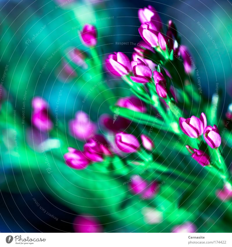 Natur blau grün Pflanze Sommer Meer Strand Umwelt dunkel Wärme Küste rosa wild frisch Insel weich
