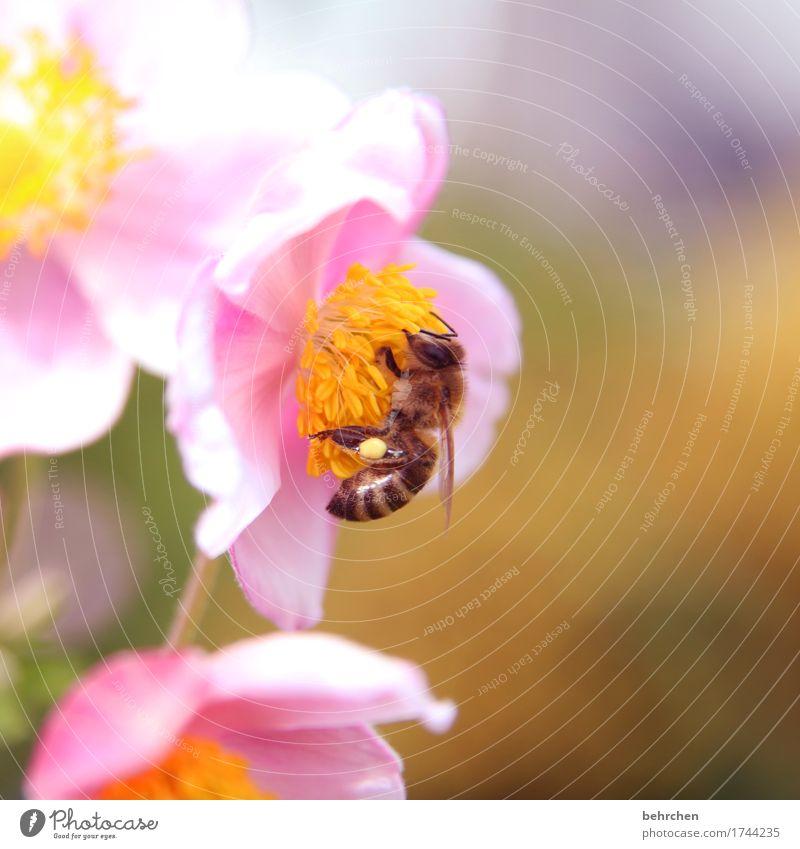 höschen popöschen Natur Pflanze Tier Sommer Schönes Wetter Blume Blatt Blüte Herbstanemone Garten Park Wiese Wildtier Biene Tiergesicht Flügel 1 Blühend Duft