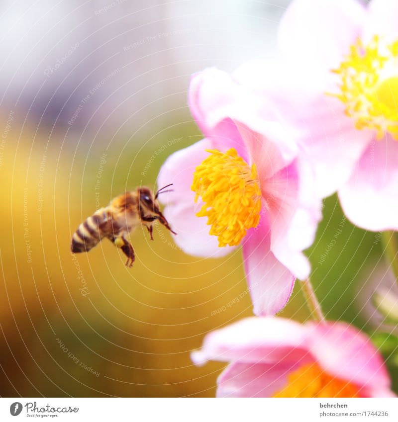 überwacht | den nahrungsvorrat Natur Pflanze Tier Sommer Schönes Wetter Blume Blatt Blüte Grünpflanze Herbstanemone Garten Park Wiese Wildtier Biene Tiergesicht