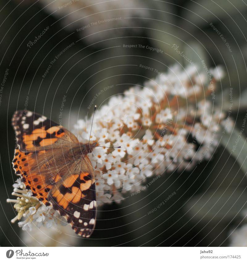 Schmetterling Farbfoto Außenaufnahme Menschenleer Textfreiraum rechts Textfreiraum oben Tag Schwache Tiefenschärfe Tierporträt Umwelt Natur Frühling Sommer