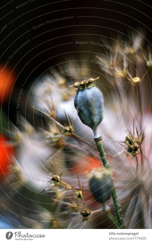 9 schön Pflanze außergewöhnlich Blumenstrauß trocken exotisch Trockenblume Mohnkapsel