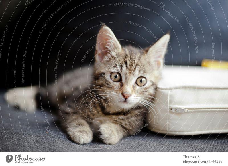 #CatContent Tier Haustier Katze 1 Tierjunges liegen Katzenbaby weich Blick Pfote Sofa Polster Schnurrhaar Schnurren Farbfoto Innenaufnahme wach Wachsamkeit
