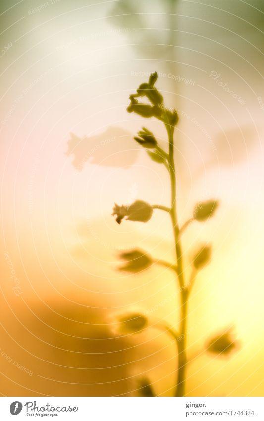 Erwartung Natur Pflanze Schönes Wetter Blume gelb grün orange rosa klein Blüte mehrere leuchten Doppelbelichtung reduziert Verlauf Unschärfe schön Wärme Stengel