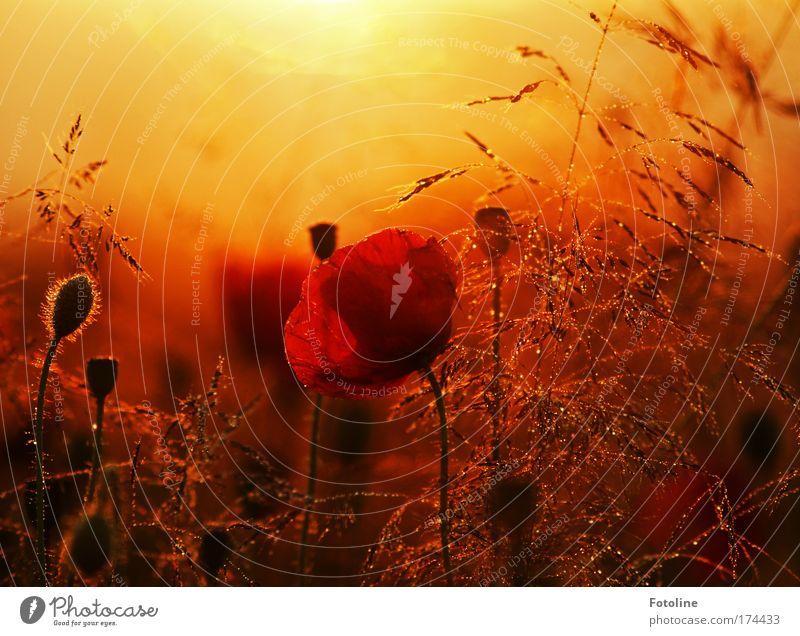 Mohnkuchen für Tomka01 Natur Pflanze rot Sommer schwarz gelb Wiese Blüte Gras Park Sonnenuntergang Landschaft Luft Sonnenaufgang hell