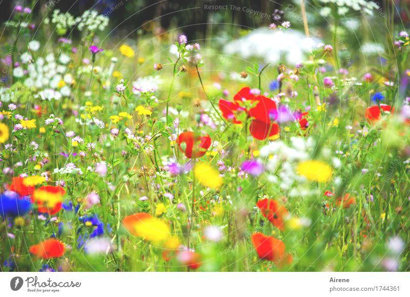 primär farben Pflanze Blume Mohn Kornblume Gewöhnliche Schafgarbe Wiesenblume Gras Blühend Wachstum Fröhlichkeit natürlich mehrfarbig grün rot weiß Lebensfreude