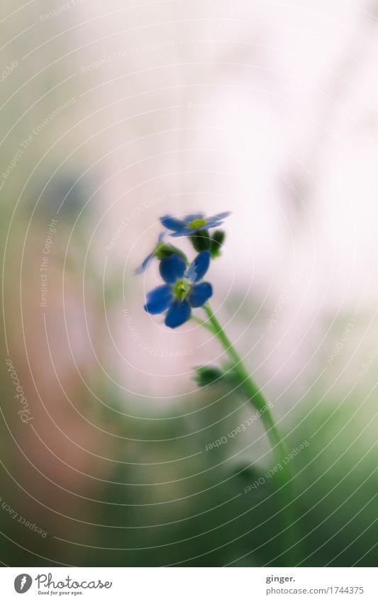 AST9 | Remember Natur Pflanze Blume Blatt Blüte Topfpflanze blau braun mehrfarbig grün rosa Stengel diffus Unschärfe klein zart Farbfoto Gedeckte Farben