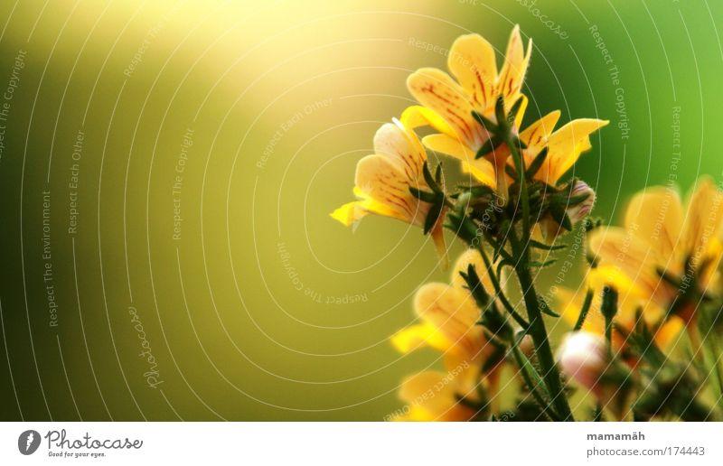 Balkonpracht Natur schön Blume grün Pflanze Sommer gelb Blüte frisch Fröhlichkeit Wachstum Stengel Blühend sommerlich Balkonpflanze