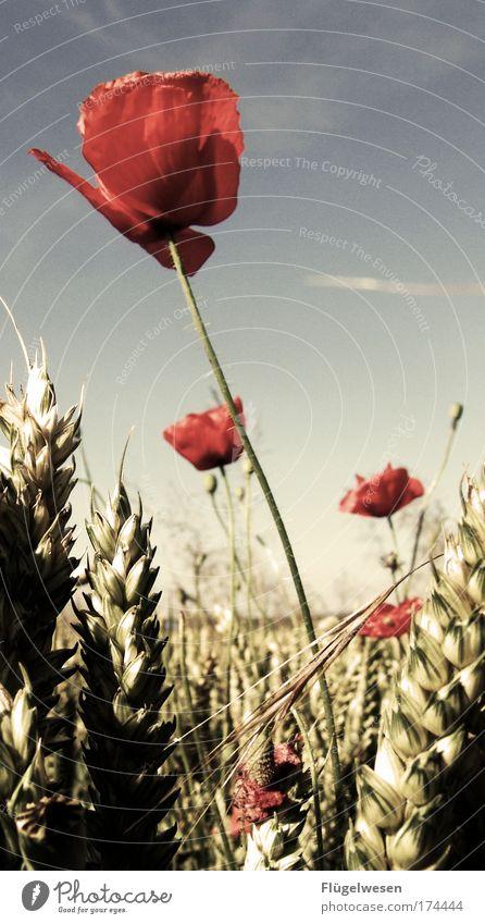 Der Mohn ist aufgegangen, die goldnen Ähren prangen... Natur Himmel Pflanze Sommer Erholung Blüte Landschaft Feld Gesundheit Mohn Umwelt Sicherheit Sträucher Schutz Blühend entdecken