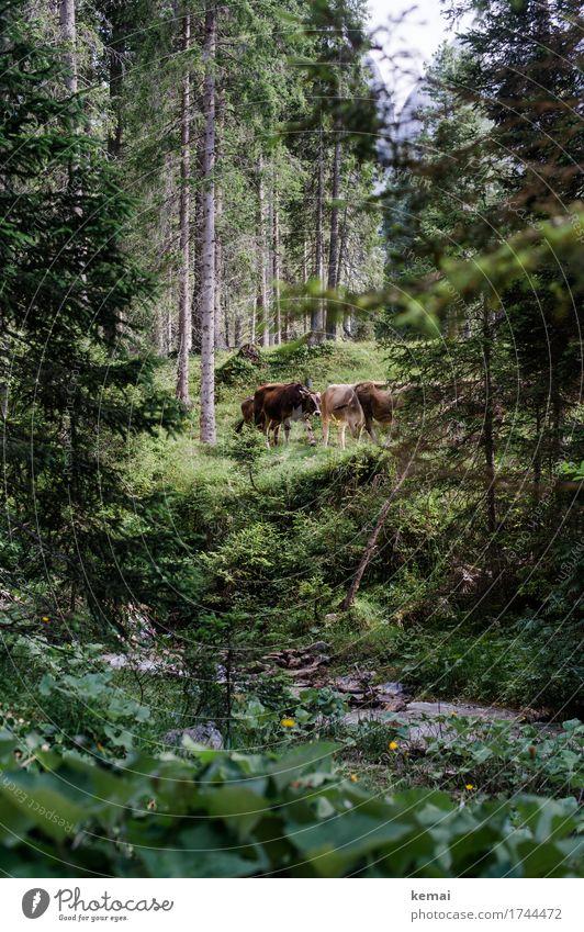 Waldkühe Leben Ferien & Urlaub & Reisen Ausflug Freiheit Sommerurlaub Berge u. Gebirge wandern Natur Landschaft Baum Bach Nutztier Kuh Tiergruppe Herde stehen