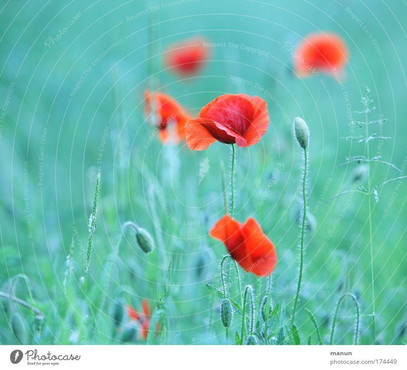 Klatschmohn Natur schön rot Sommer ruhig Erholung Stil Design Umwelt ästhetisch natürlich Mohn türkis positiv harmonisch Sinnesorgane