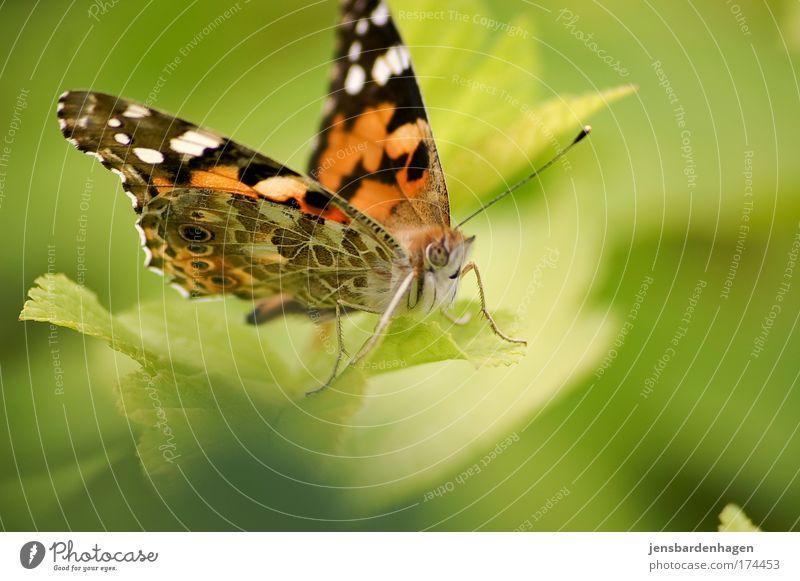 Schmetterling Natur schön rot Sommer Blatt schwarz Tier sitzen Flügel Insekt Schmetterling Schönes Wetter Grünpflanze