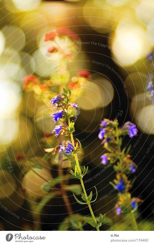 Ysop mit Schwebfliege Natur schön grün blau Pflanze rot Tier gelb Landschaft hell Umwelt fliegen Wachstum violett Blühend leuchten