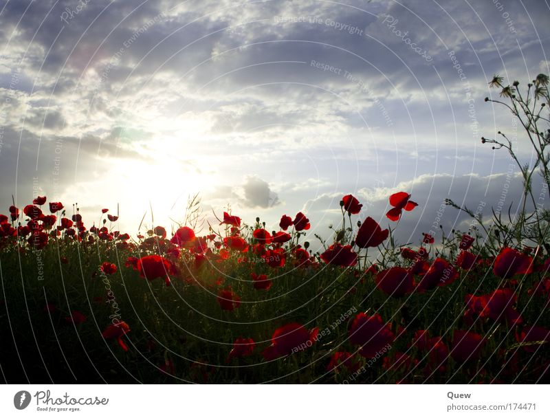 Das Mohnfeld Farbfoto Außenaufnahme Menschenleer Tag Licht Kontrast Sonnenlicht Sonnenstrahlen Sonnenaufgang Sonnenuntergang Gegenlicht Landschaft Pflanze