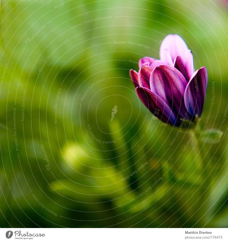 Knospe Farbfoto Nahaufnahme Detailaufnahme Makroaufnahme Menschenleer Textfreiraum links Blitzlichtaufnahme Schwache Tiefenschärfe Umwelt Natur Pflanze Sommer