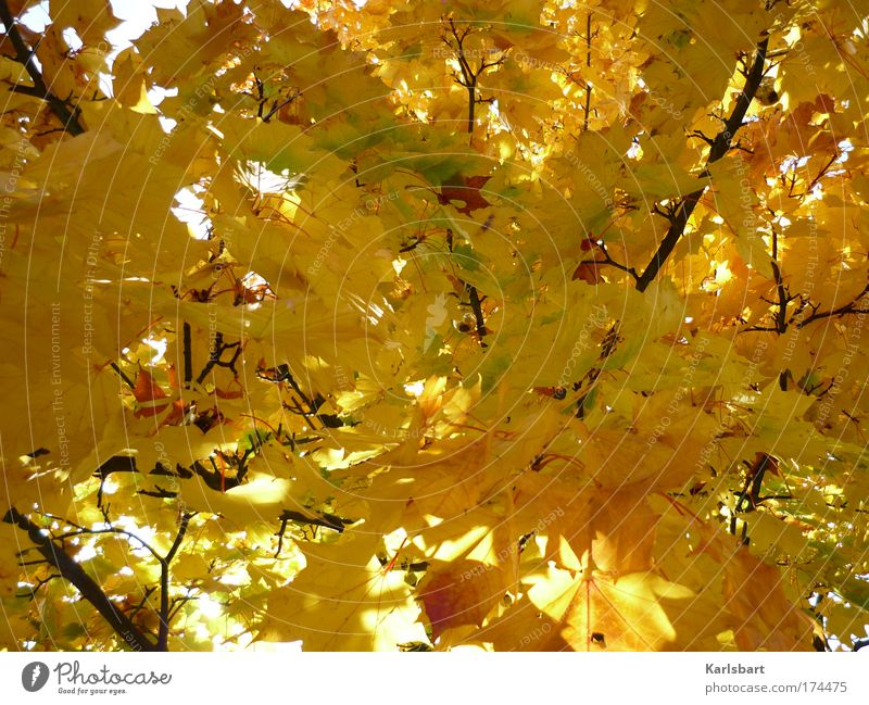 das hängen der kugel während des vorgangs des herbstes. Natur Baum rot ruhig Blatt gelb Herbst Traurigkeit Park Gold Design Umwelt gold Ast Vergänglichkeit