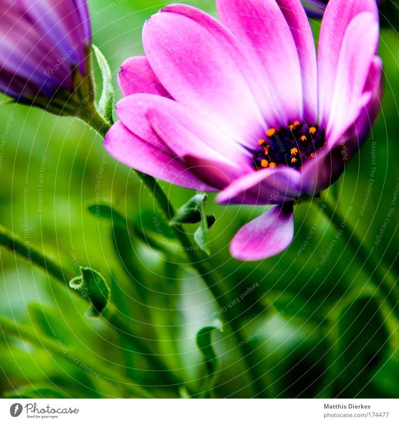 Blüte Farbfoto Nahaufnahme Detailaufnahme Makroaufnahme Menschenleer Textfreiraum links Blitzlichtaufnahme Schwache Tiefenschärfe Umwelt Natur Pflanze Sommer
