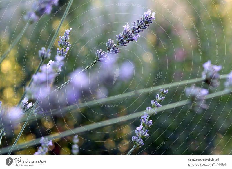 Lavendel Farbfoto Außenaufnahme Natur Pflanze Sommer Duft natürlich grün violett Blume Stengel Blüte Heilpflanzen Tag