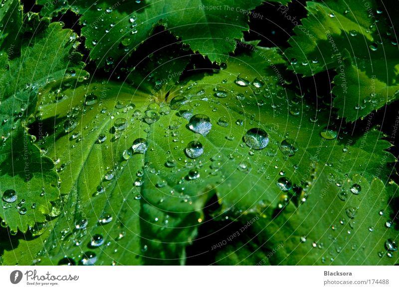 Frauenmantel mit Tropfen Farbfoto Außenaufnahme Nahaufnahme Detailaufnahme Tag Kontrast Reflexion & Spiegelung Sonnenlicht Zentralperspektive Weitwinkel Natur