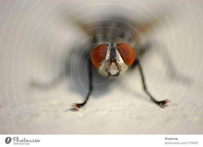 McFly Farbfoto Makroaufnahme Textfreiraum links Starke Tiefenschärfe Zentralperspektive Totale Tierporträt Vorderansicht Blick in die Kamera Umwelt Natur Fliege