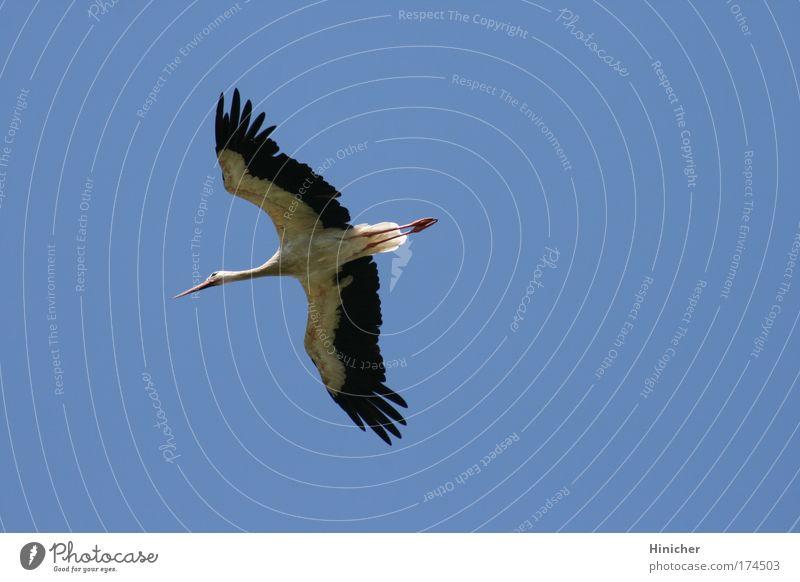 Der Storch Natur schön Himmel weiß blau schwarz Tier Bewegung Luft Zufriedenheit Kraft elegant fliegen Hoffnung ästhetisch authentisch