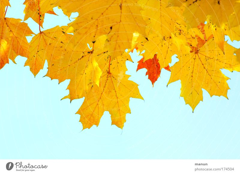 Gelbgold Natur schön alt Himmel Baum rot ruhig Blatt gelb Herbst Luft Umwelt Vergänglichkeit natürlich Warmherzigkeit leuchten