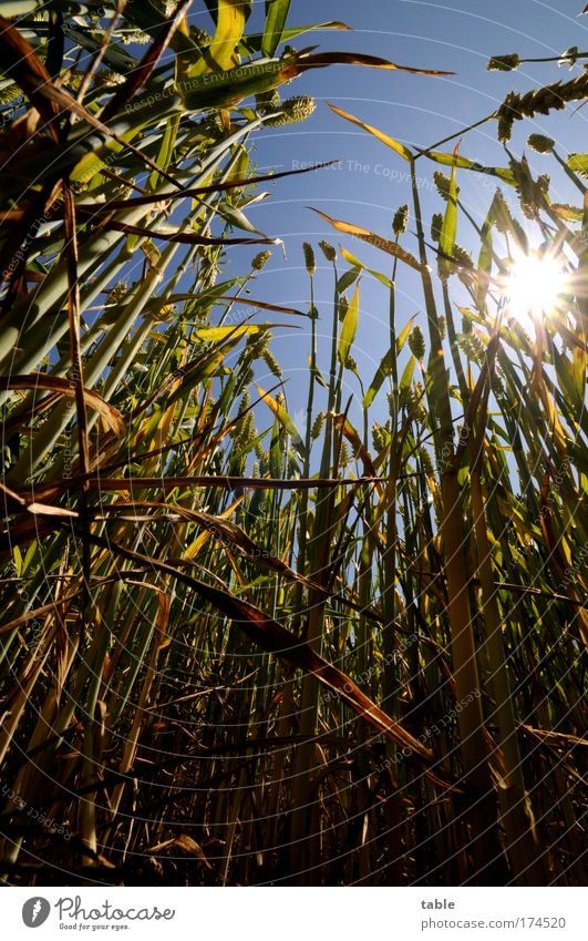 Lichtblick Farbfoto Sonnenstrahlen Gegenlicht Froschperspektive Weitwinkel Lebensmittel Getreide Weizen Bioprodukte Erholung Erntedankfest Feldarbeit
