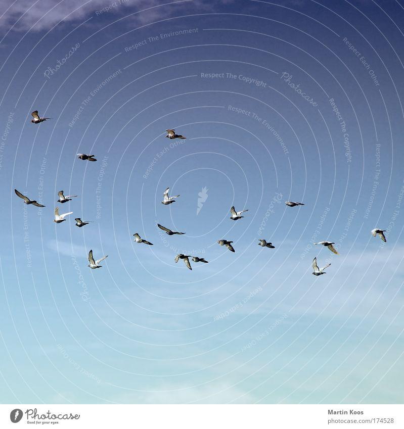 abflug Natur Himmel nur Himmel Tier Vogel Taube Flügel Zugvogel Schwarm fliegen Kommunizieren träumen Ferne Unendlichkeit blau grau Fernweh Bewegung