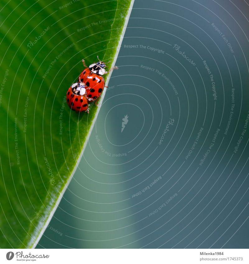 ladybird love Umwelt Natur Pflanze Tier Blatt Garten Park Wildtier 2 Liebe Liebesaffäre Marienkäfer Käfer krabbeln bunt mehrfarbig Glück Zusammensein Farbfoto