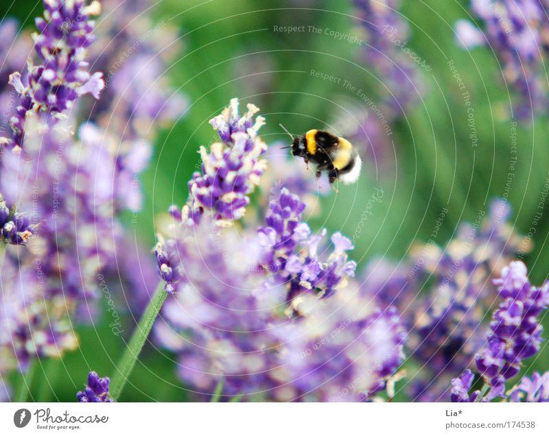 Sum die dicke Hummel Farbfoto Außenaufnahme Detailaufnahme Makroaufnahme Pflanze Blume Lavendel Biene Insekt 1 Tier fliegen gelb grün violett fleißig