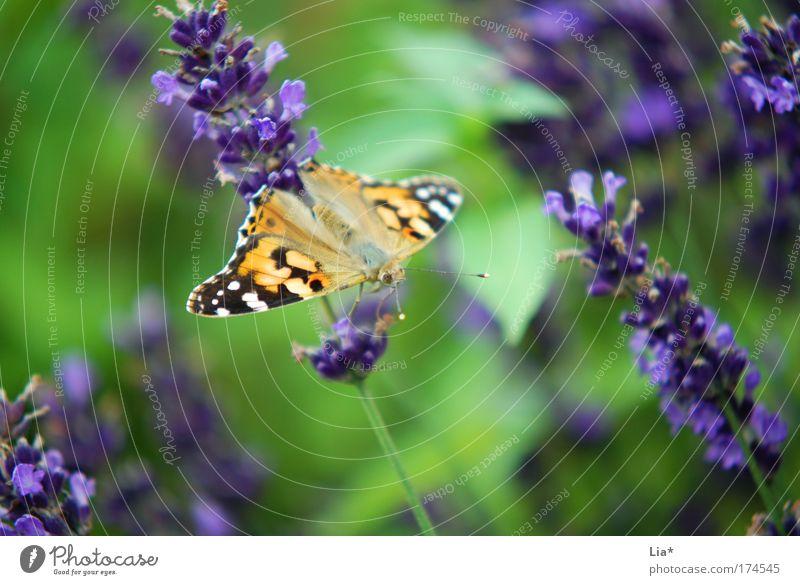grün-lila-gelb Blume Pflanze Tier sitzen Pause violett Insekt Schmetterling Leichtigkeit Umweltschutz hocken Lavendel achtsam Naturschutzgebiet